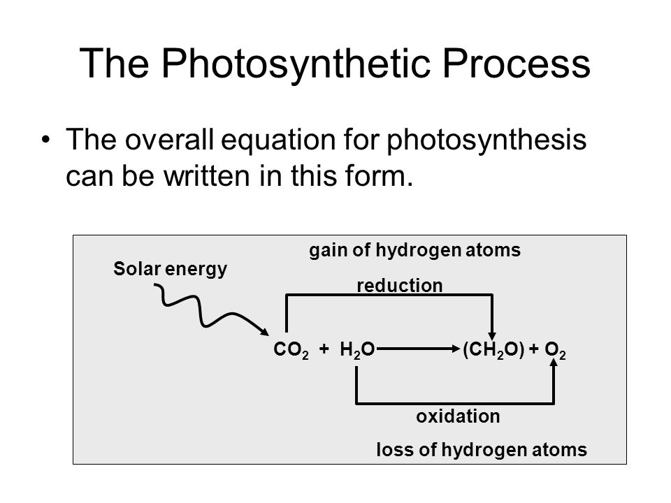 The Electron Pathway of the Light Reactions (cont.) As the electrons are passed down an electron transport chain, energy is released and stored in the form of a hydrogen ion (H + ) gradient.