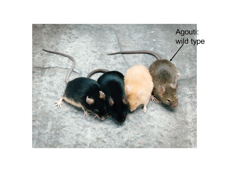 Agouti: wild type
