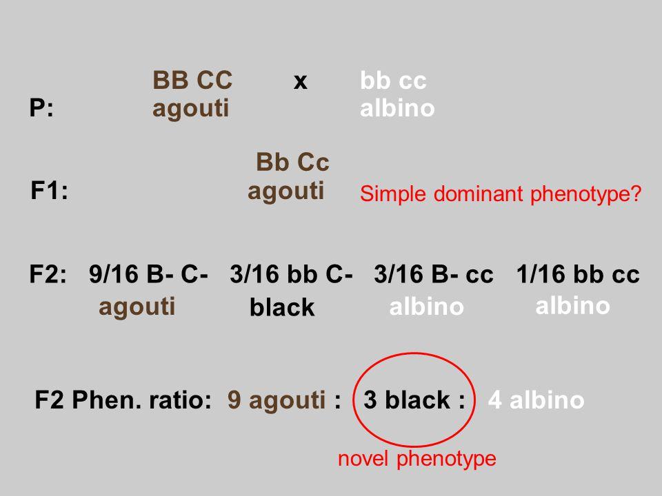 F2 Phen. ratio: 9 agouti : 3 black : 4 albino agouti F1: agouti P: agoutialbino F2: 9/16 B- C- 3/16 bb C- 3/16 B- cc 1/16 bb cc Simple dominant phenot