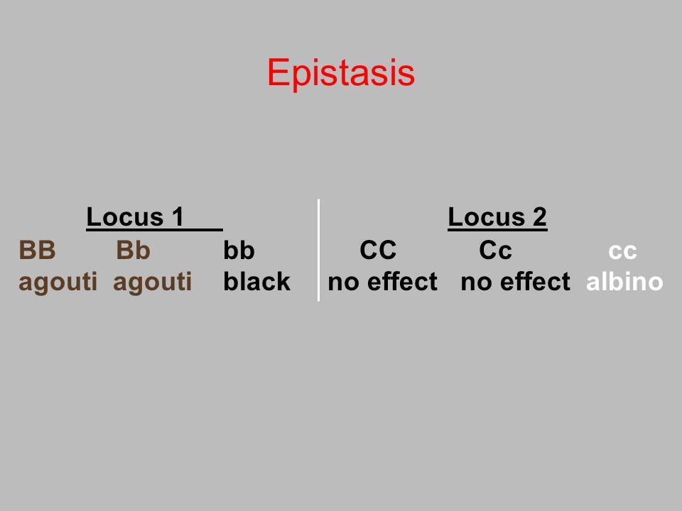 Epistasis Locus 1 Locus 2 BB Bb bbCC Cc cc agouti agoutiblack no effect no effect albino
