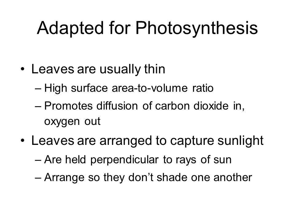 Adapted for Photosynthesis Leaves are usually thin –High surface area-to-volume ratio –Promotes diffusion of carbon dioxide in, oxygen out Leaves are arranged to capture sunlight –Are held perpendicular to rays of sun –Arrange so they don't shade one another