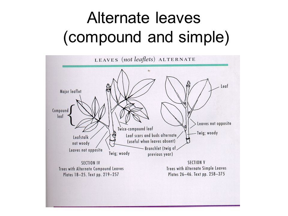 Alternate leaves (compound and simple)