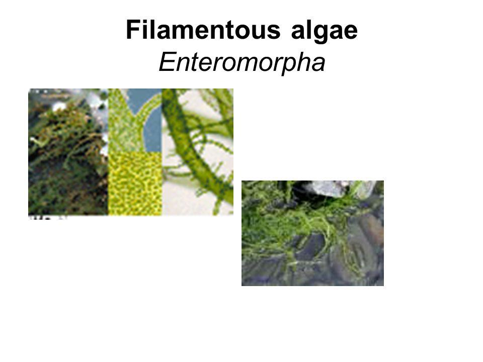 Filamentous algae Enteromorpha