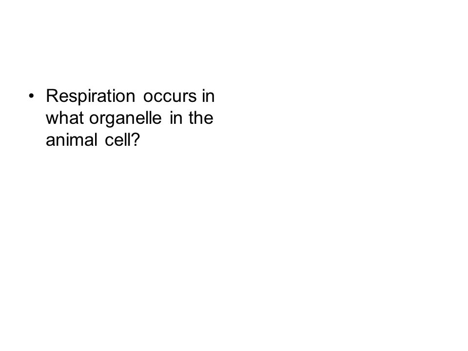 Respiration occurs in what organelle in the animal cell?