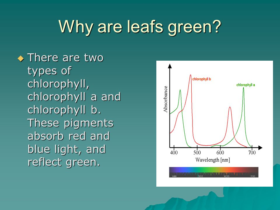 Why are leafs green.  There are two types of chlorophyll, chlorophyll a and chlorophyll b.