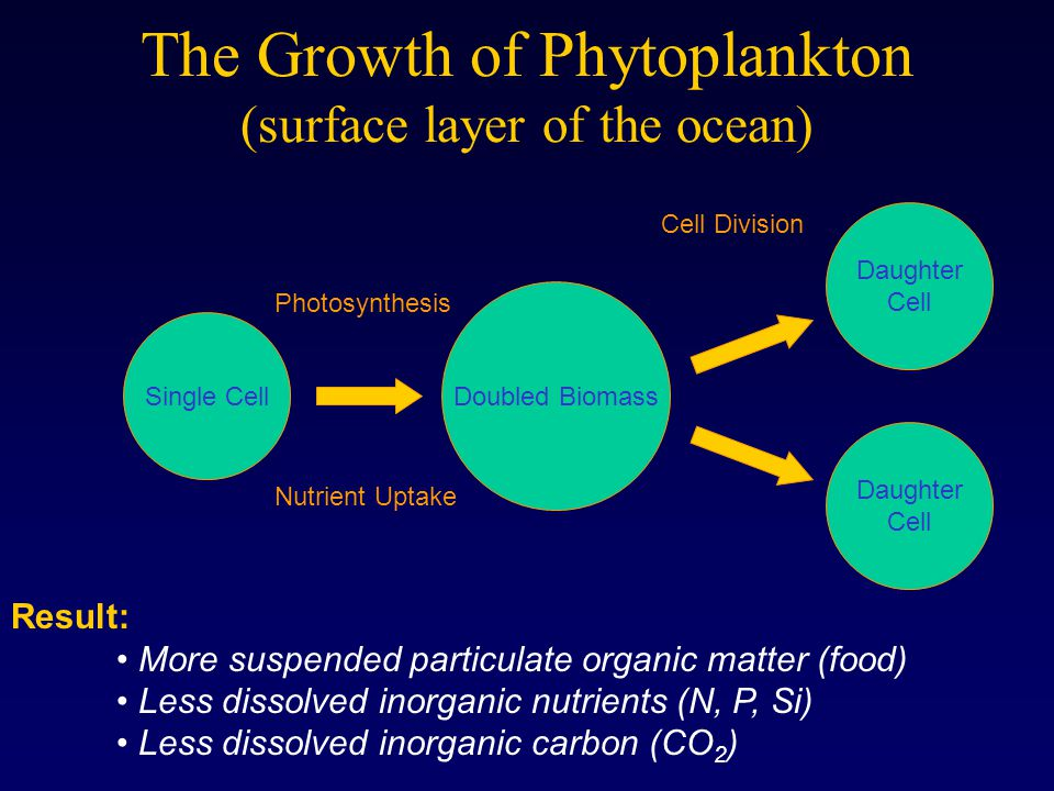 The Growth of Phytoplankton (surface layer of the ocean) Single Cell Doubled Biomass Daughter Cell Daughter Cell Photosynthesis Nutrient Uptake Cell D