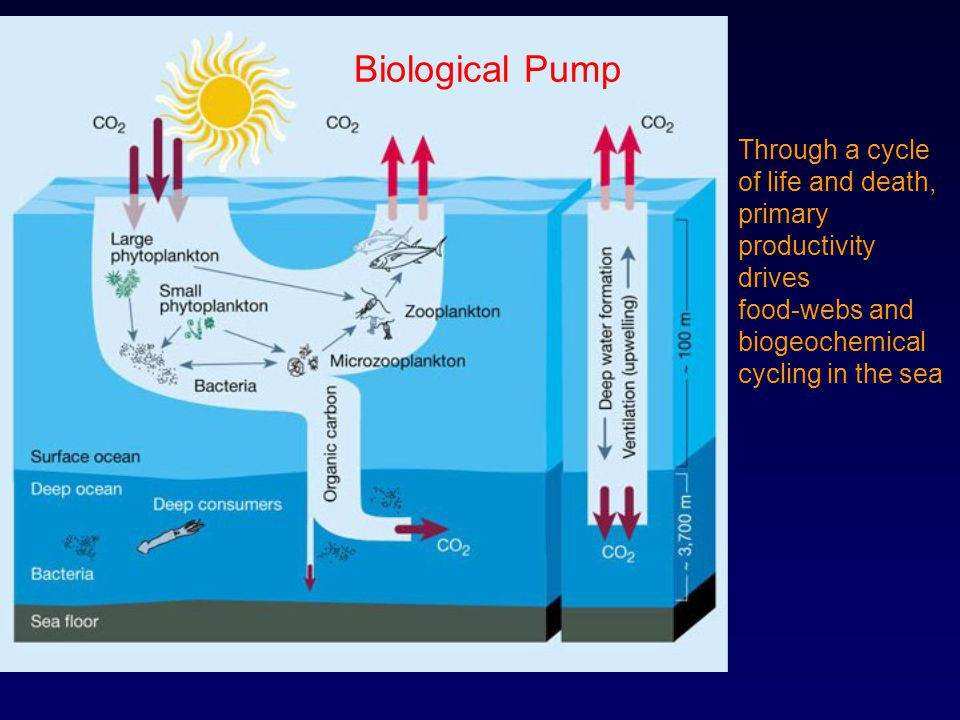 Through a cycle of life and death, primary productivity drives food-webs and biogeochemical cycling in the sea Biological Pump