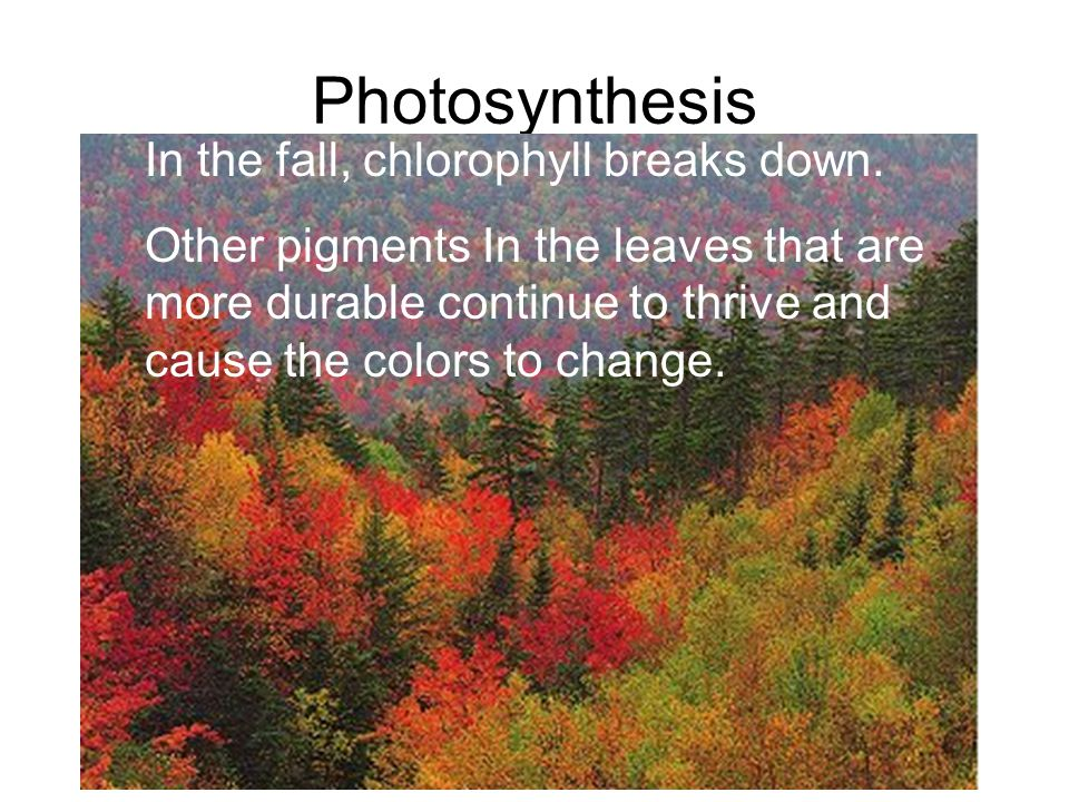 Photosynthesis In the fall, chlorophyll breaks down.