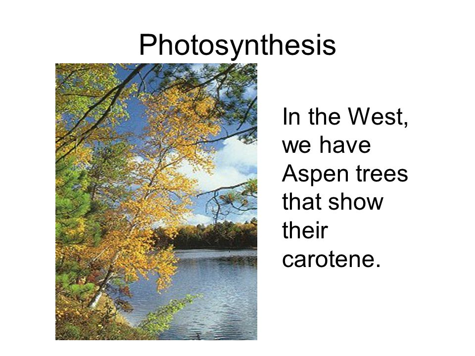 Photosynthesis In the West, we have Aspen trees that show their carotene.