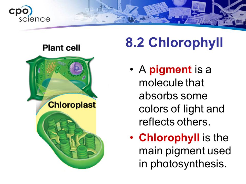 8.2 Chlorophyll A pigment is a molecule that absorbs some colors of light and reflects others. Chlorophyll is the main pigment used in photosynthesis.