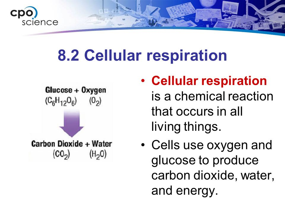 8.2 Cellular respiration Cellular respiration is a chemical reaction that occurs in all living things. Cells use oxygen and glucose to produce carbon
