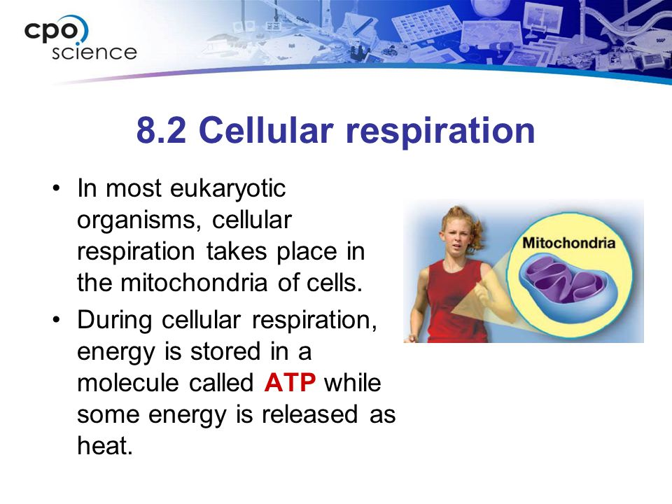 8.2 Cellular respiration In most eukaryotic organisms, cellular respiration takes place in the mitochondria of cells. During cellular respiration, ene