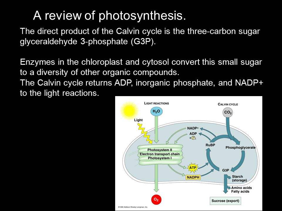 A review of photosynthesis. The orange arrows trace the current of light-driven electrons from water to NADPH. Each photon of light excites a single e