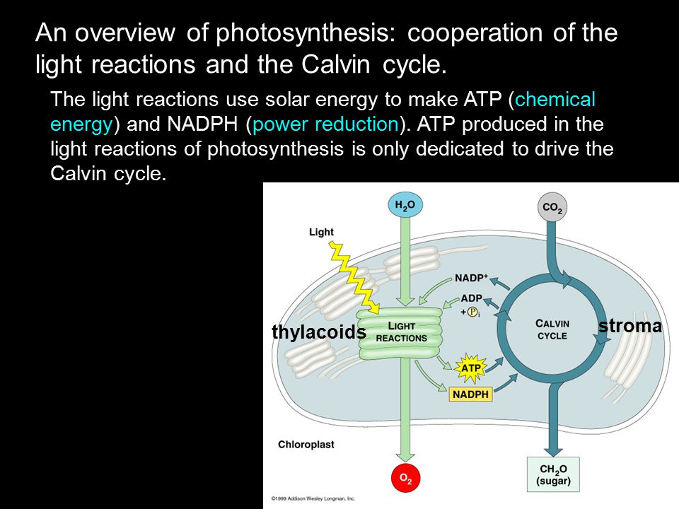An overview of photosynthesis: cooperation of the light reactions and the Calvin cycle. The light reactions use solar energy to make ATP (chemical ene