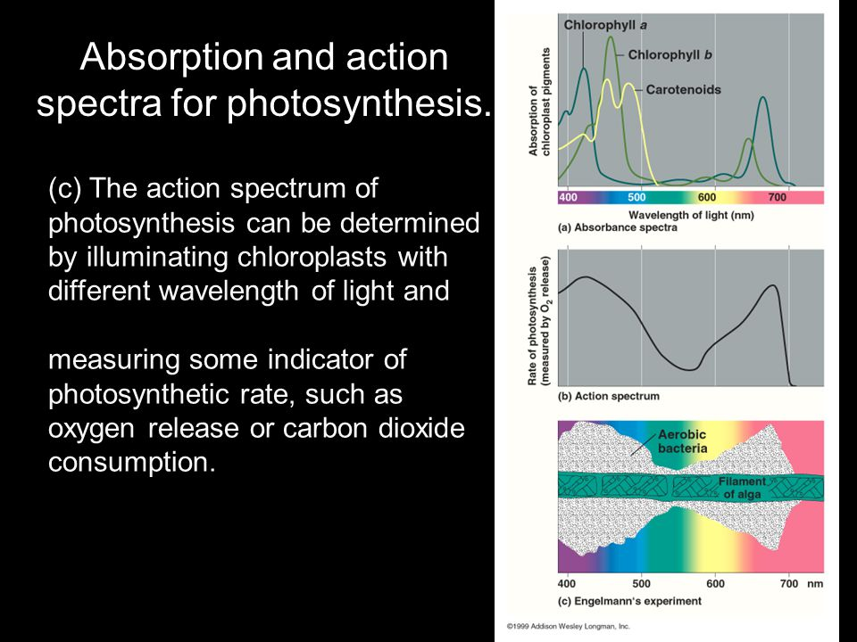 Absorption and action spectra for photosynthesis. (c) The action spectrum of photosynthesis can be determined by illuminating chloroplasts with differ