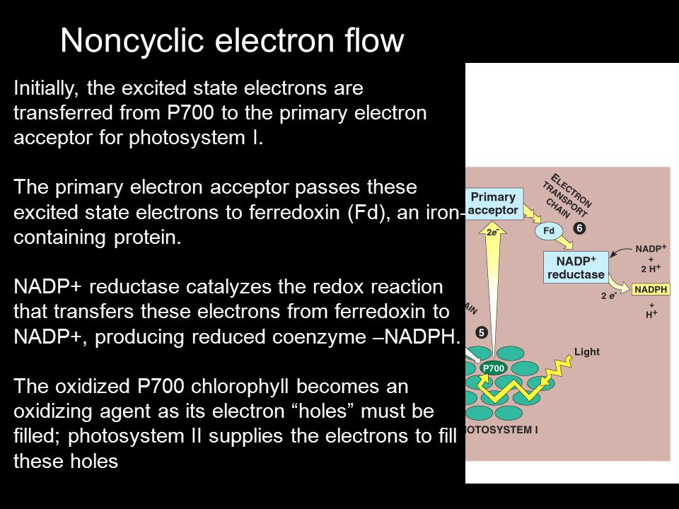 Noncyclic electron flow Initially, the excited state electrons are transferred from P700 to the primary electron acceptor for photosystem I. The prima