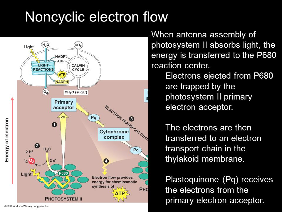 Noncyclic electron flow When antenna assembly of photosystem II absorbs light, the energy is transferred to the P680 reaction center. Electrons ejecte