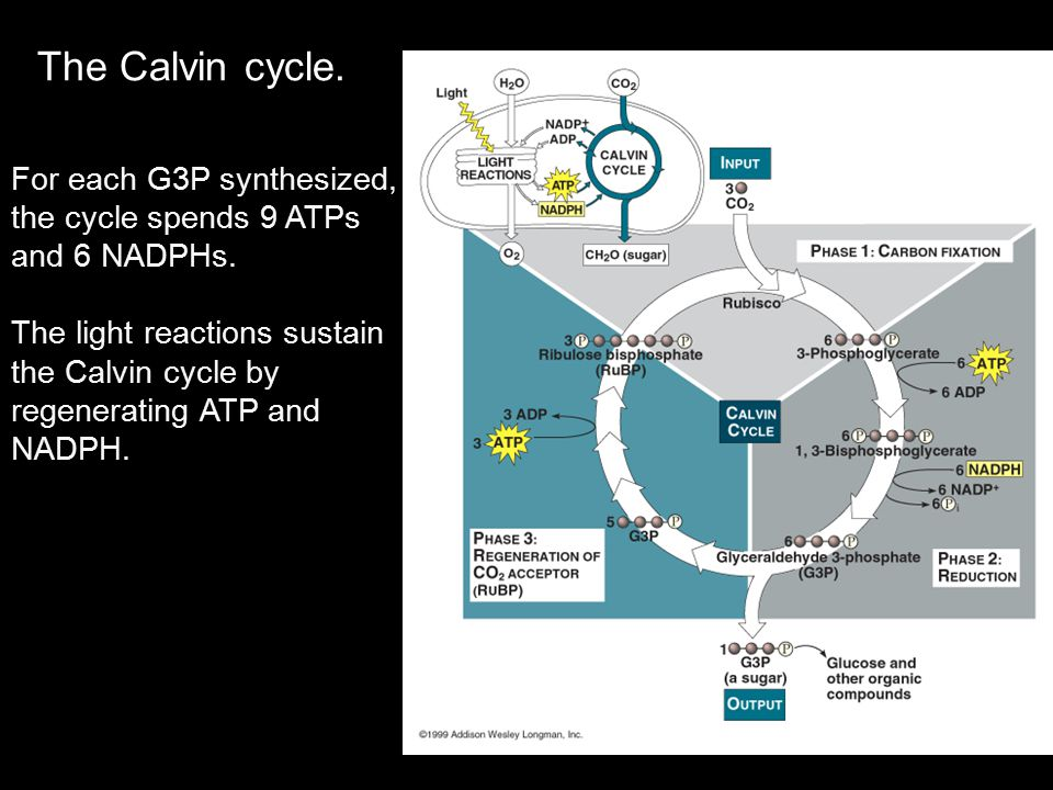 The Calvin cycle. For each G3P synthesized, the cycle spends 9 ATPs and 6 NADPHs. The light reactions sustain the Calvin cycle by regenerating ATP and