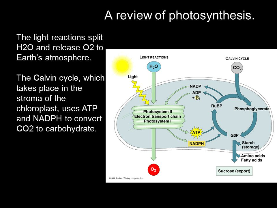 A review of photosynthesis. The light reactions split H2O and release O2 to Earth's atmosphere. The Calvin cycle, which takes place in the stroma of t
