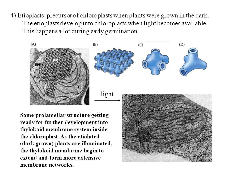 4) Etioplasts: precursor of chloroplasts when plants were grown in the dark.