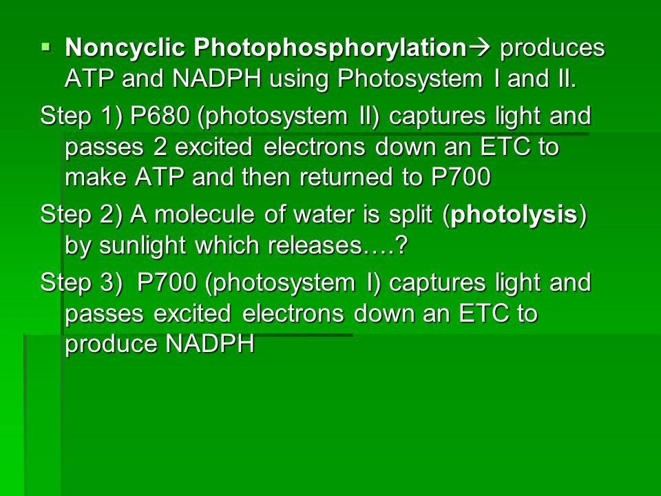  Noncyclic Photophosphorylation  produces ATP and NADPH using Photosystem I and II.