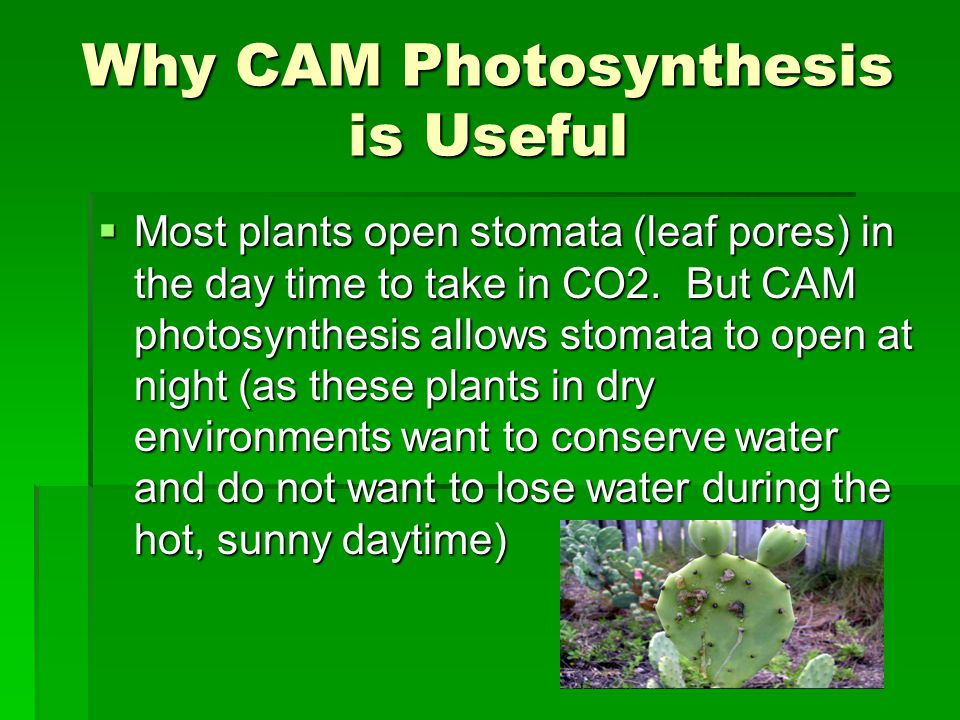Why CAM Photosynthesis is Useful  Most plants open stomata (leaf pores) in the day time to take in CO2.