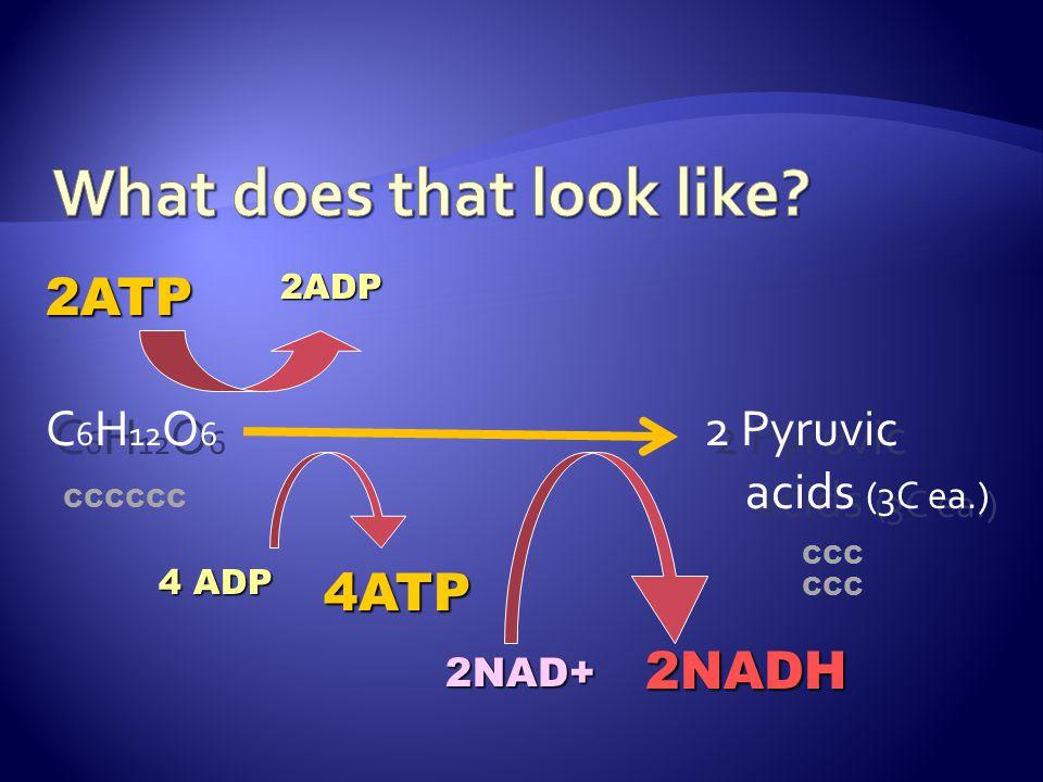 C 6 H 12 O 6 2 Pyruvic acids (3C ea.) 2ATP 4 ADP 2NAD+ 4ATP 2NADH 2ADP CCCCCC CCC
