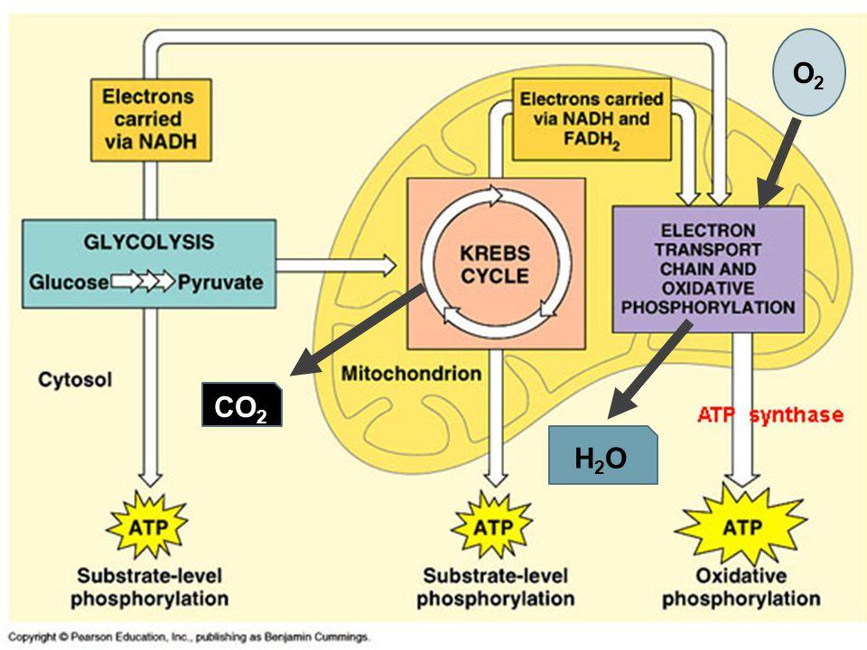 CO 2 O2O2 H2OH2O