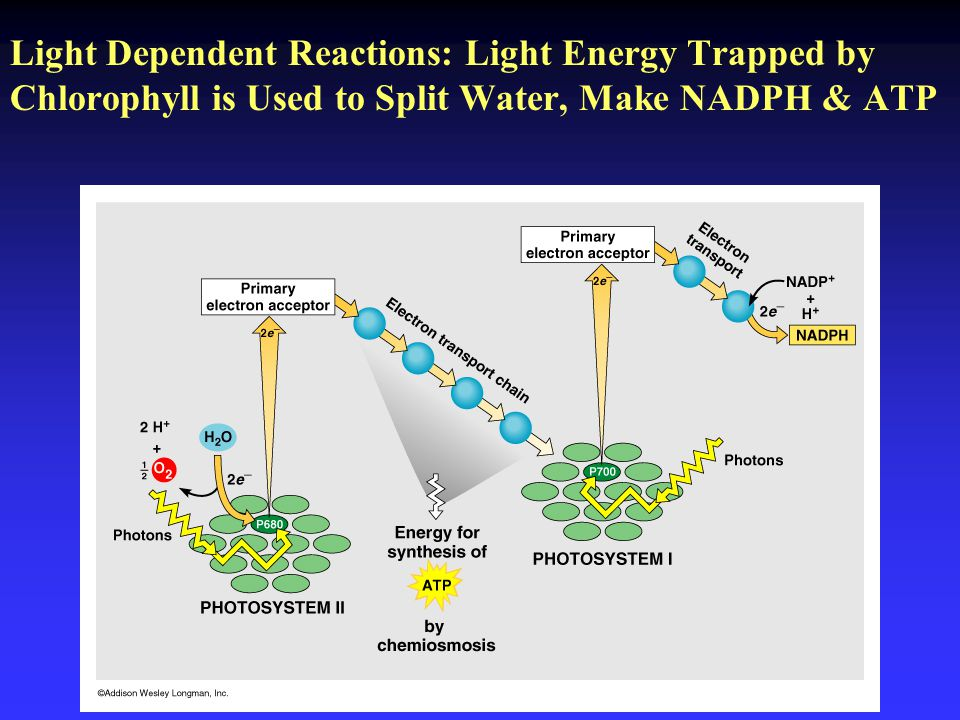 Light Dependent Reactions: Light Energy Trapped by Chlorophyll is Used to Split Water, Make NADPH & ATP