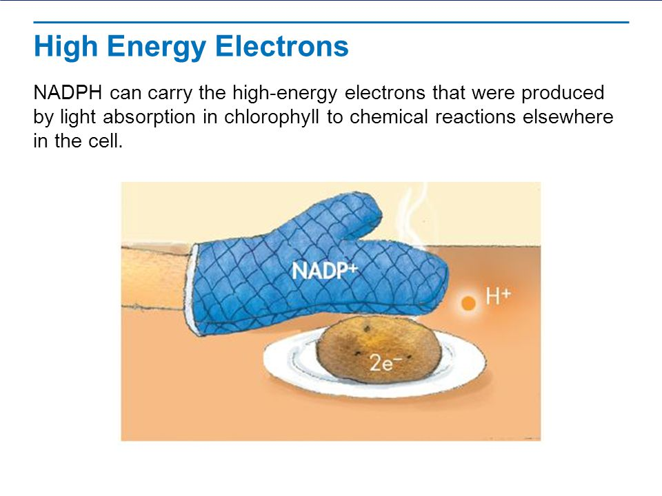 High Energy Electrons NADPH can carry the high-energy electrons that were produced by light absorption in chlorophyll to chemical reactions elsewhere