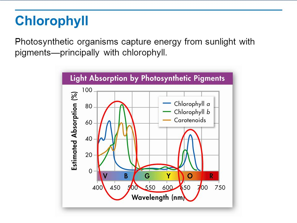 Chlorophyll – green pigments 2 main types of chlorophyll Chlorophyll a and Chlorophyll b Absorbs light very well in the blue-violet spectrum and red regions of visible spectrum Chlorophyll a – found in all plants, algae, and cyanobacteria Chlorophyll b – found in all plants, and green algae