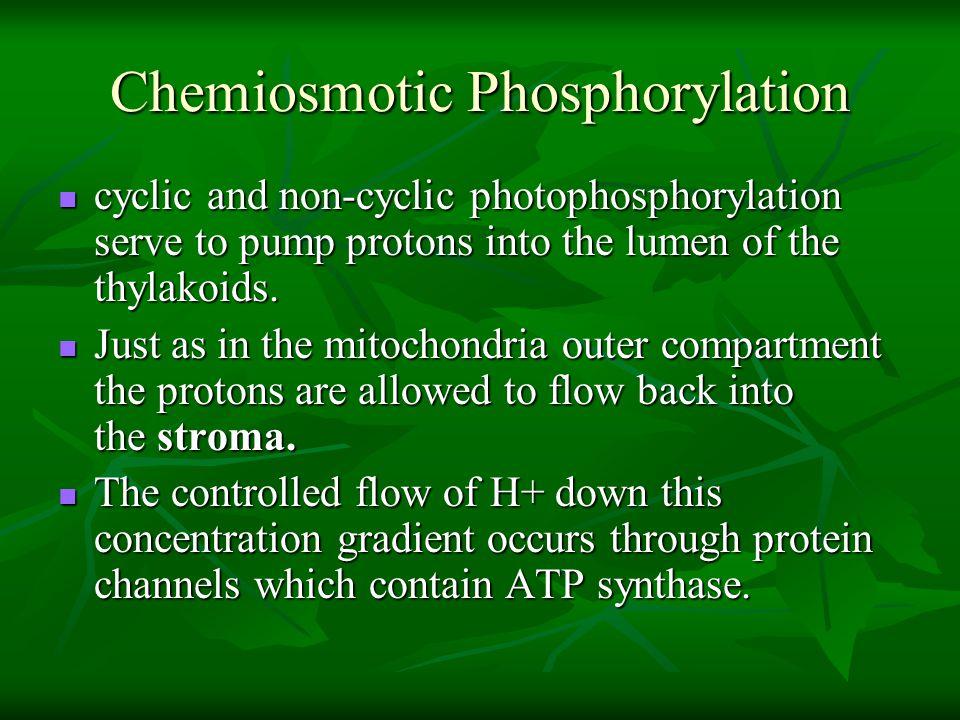 Chemiosmotic Phosphorylation cyclic and non-cyclic photophosphorylation serve to pump protons into the lumen of the thylakoids. cyclic and non-cyclic