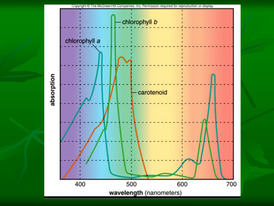 Reaction centers Chlorophyll pigments are arranged in functional sets or clusters on the thylakoid membranes.