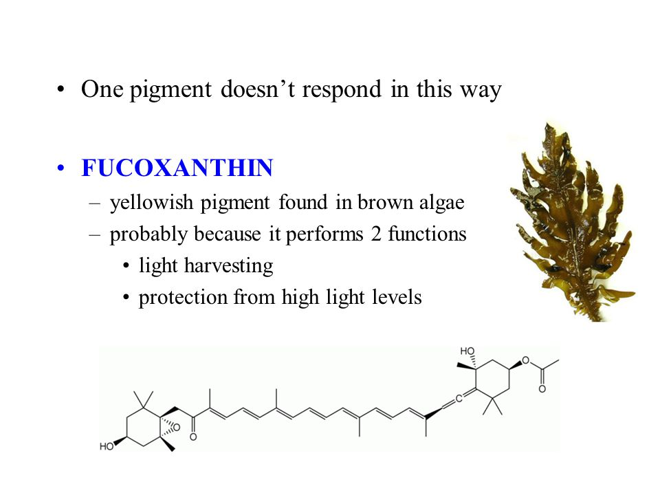 One pigment doesn't respond in this way FUCOXANTHIN –yellowish pigment found in brown algae –probably because it performs 2 functions light harvesting protection from high light levels
