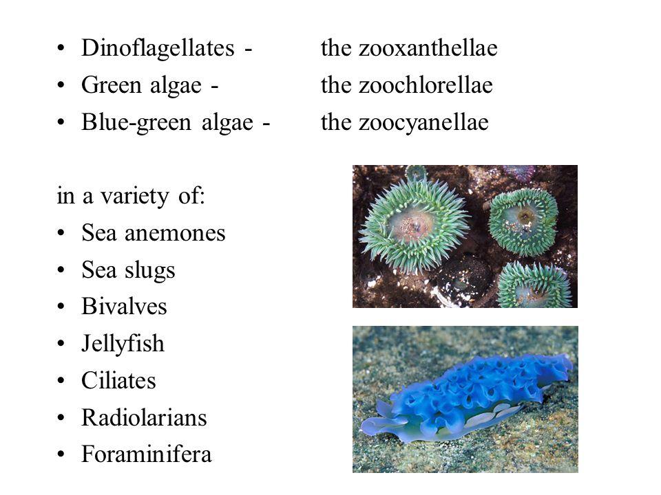 Dinoflagellates - the zooxanthellae Green algae - the zoochlorellae Blue-green algae - the zoocyanellae in a variety of: Sea anemones Sea slugs Bivalves Jellyfish Ciliates Radiolarians Foraminifera