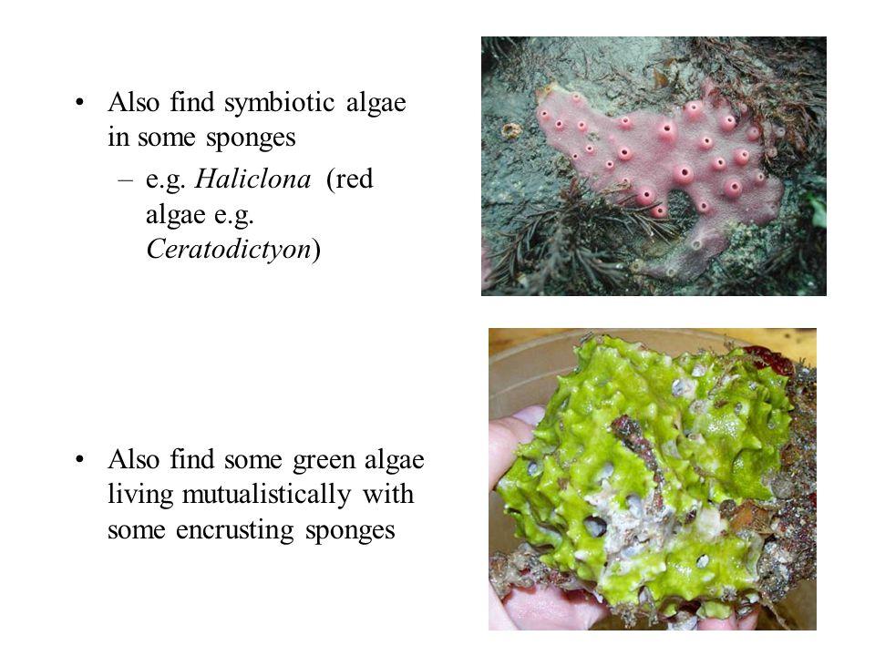 Also find symbiotic algae in some sponges –e.g. Haliclona (red algae e.g.