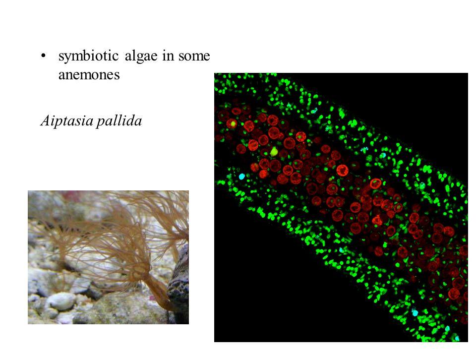symbiotic algae in some anemones Aiptasia pallida