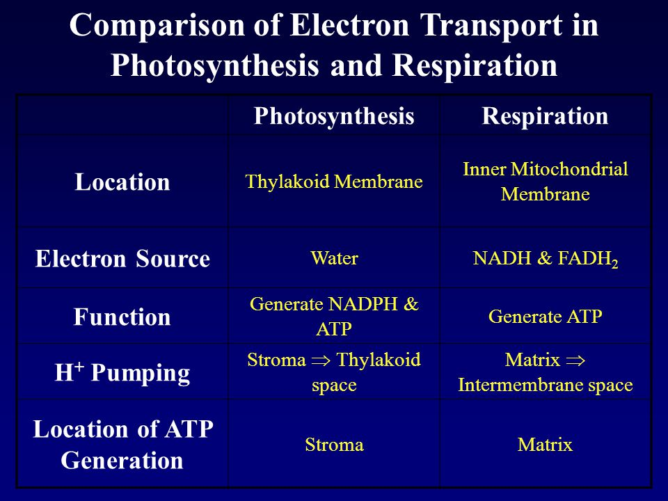 Comparison of Electron Transport in Photosynthesis and Respiration PhotosynthesisRespiration Location Thylakoid Membrane Inner Mitochondrial Membrane Electron Source WaterNADH & FADH 2 Function Generate NADPH & ATP Generate ATP H + Pumping Stroma  Thylakoid space Matrix  Intermembrane space Location of ATP Generation StromaMatrix