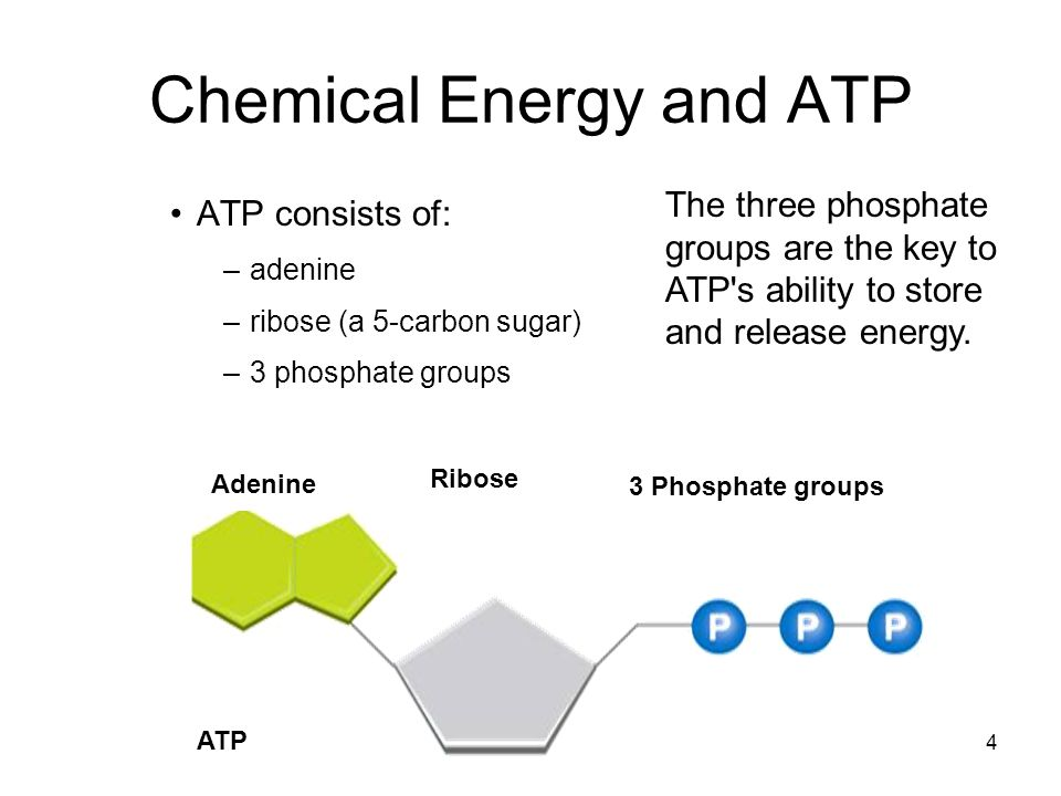 5 Chemical Energy and ATP –Storing Energy ADP has two phosphate groups instead of three.