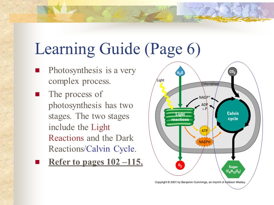 Learning Guide (Page 6) Photosynthesis is a very complex process. The process of photosynthesis has two stages. The two stages include the Light React