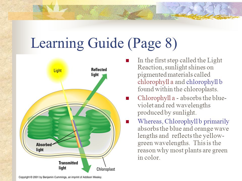 Learning Guide (Page 8) In the first step called the Light Reaction, sunlight shines on pigmented materials called chlorophyll a and chlorophyll b found within the chloroplasts.