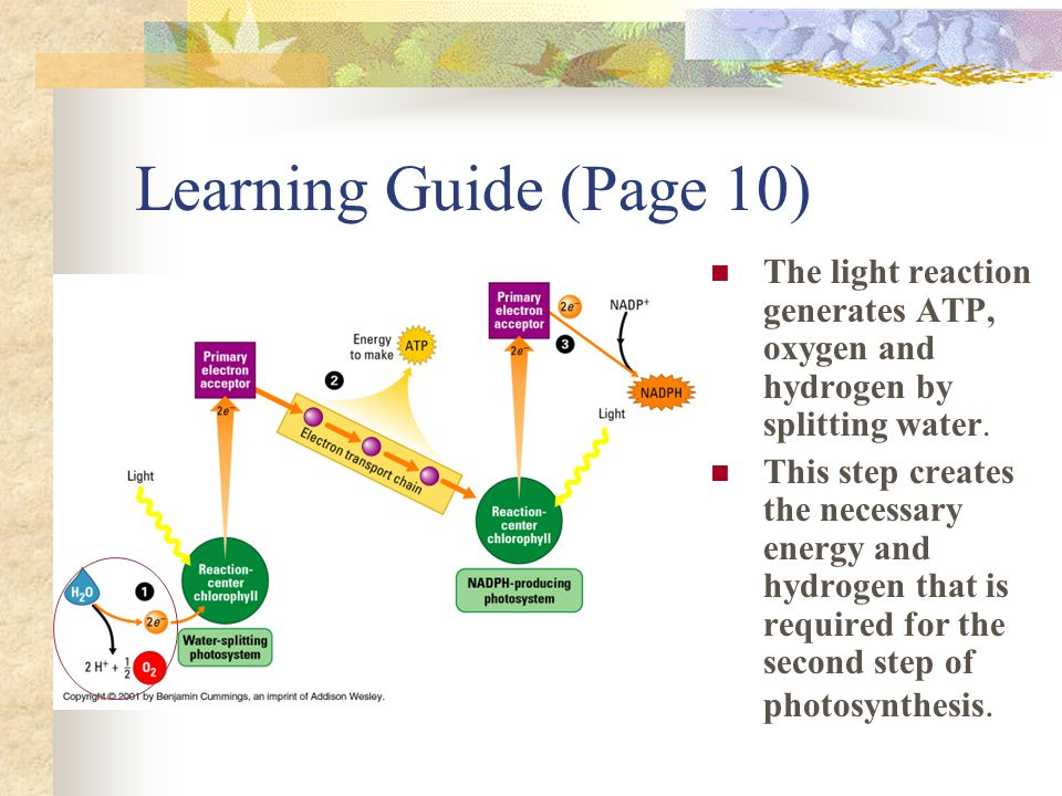Learning Guide (Page 10) The light reaction generates ATP, oxygen and hydrogen by splitting water. This step creates the necessary energy and hydrogen