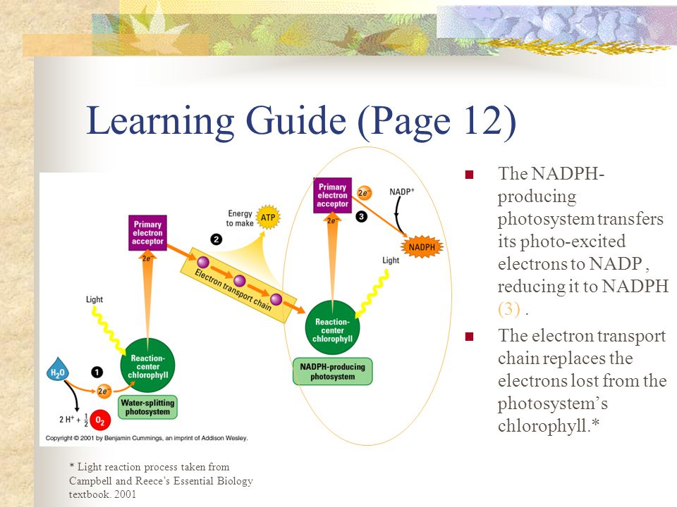 Learning Guide (Page 12) The NADPH- producing photosystem transfers its photo-excited electrons to NADP, reducing it to NADPH (3). The electron transp