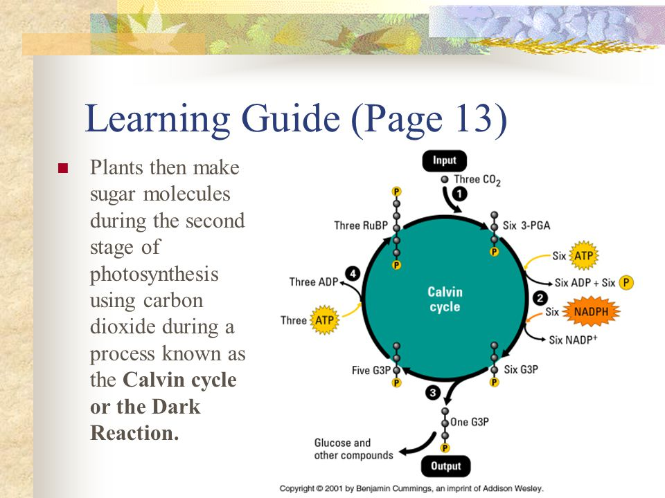 Learning Guide (Page 13) Plants then make sugar molecules during the second stage of photosynthesis using carbon dioxide during a process known as the