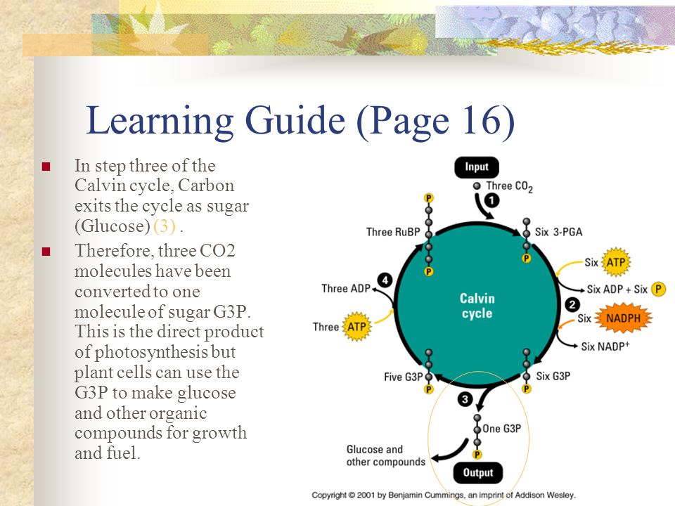 Learning Guide (Page 16) In step three of the Calvin cycle, Carbon exits the cycle as sugar (Glucose) (3). Therefore, three CO2 molecules have been co