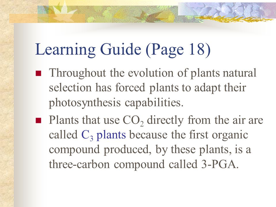 Learning Guide (Page 19) Another type of plant, a C 4 plant has special adaptations that save water without shutting down the process of photosynthesis.