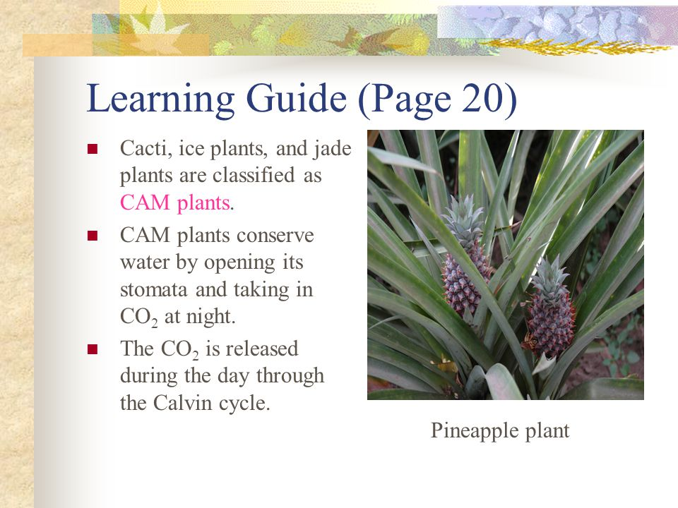 Learning Guide (Page 20) Cacti, ice plants, and jade plants are classified as CAM plants. CAM plants conserve water by opening its stomata and taking