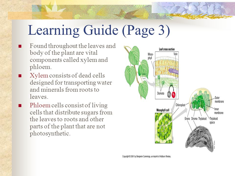 Learning Guide (Page 4) Another important component of the photosynthesis process is the ability of plants to receive water through precipitation.