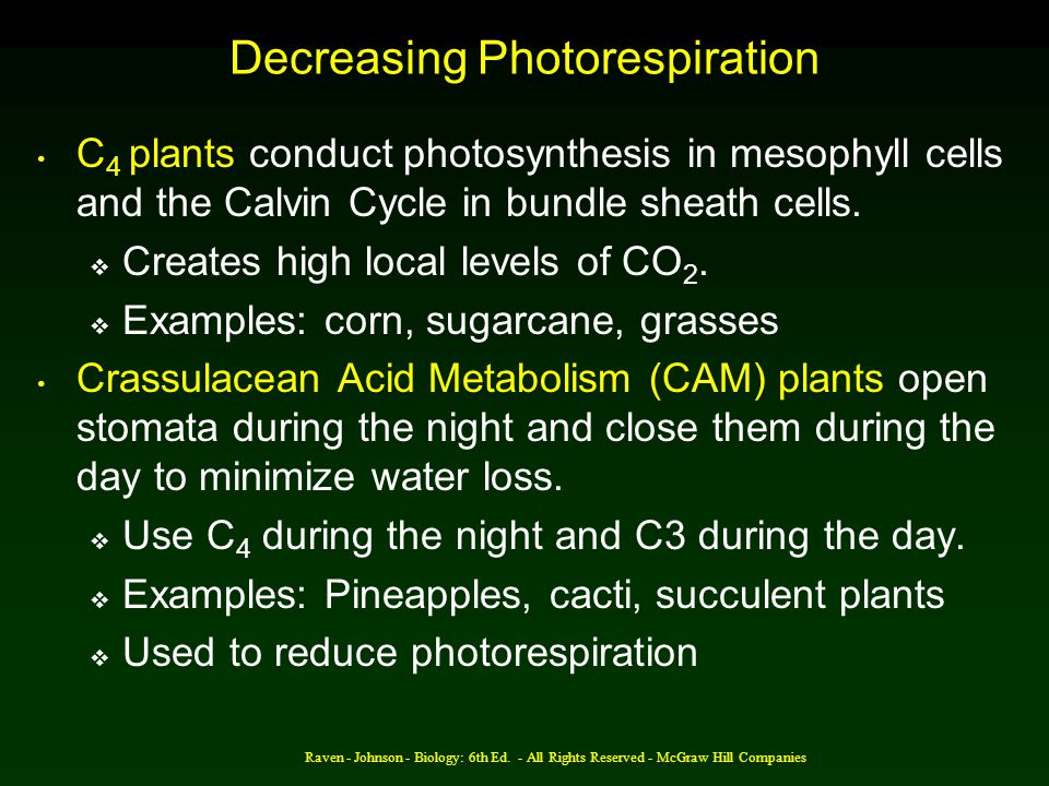 Decreasing Photorespiration C 4 plants conduct photosynthesis in mesophyll cells and the Calvin Cycle in bundle sheath cells.  Creates high local lev