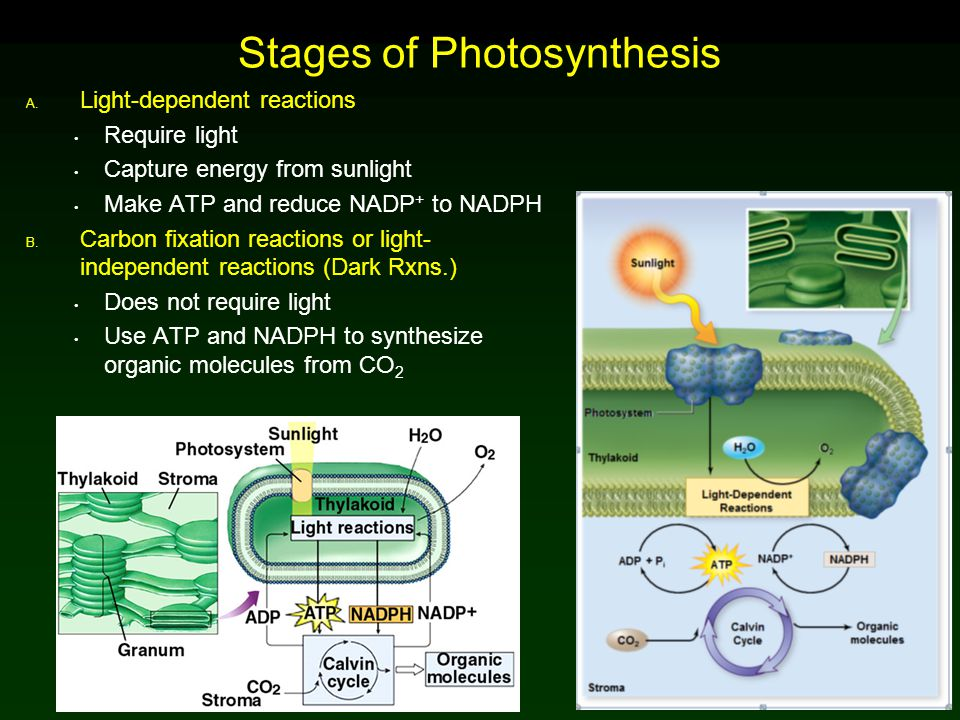 Discovery of Photosynthesis Jan Baptista van Helmont (1580–1644)  Demonstrated that the substance of the plant was not produced only from the soil Joseph Priestly (1733–1804)  Living vegetation adds something to the air Jan Ingenhousz (1730–1799)  Proposed plants carry out a process that uses sunlight to split carbon dioxide into carbon and oxygen (O 2 gas)